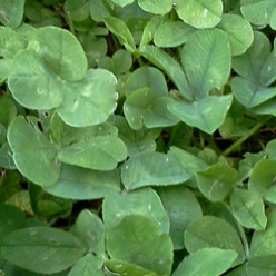 Clover, the Ecological Lawn Alternative: How to Start & Growing Tips