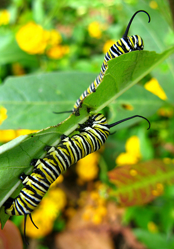 Monarch caterpillars on milkweed, by Oakley Originals