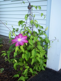 One of 4 Clematis at my House.   Like the Trellis?    Click the Picture to find out how I made it.