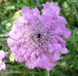 Pink Pincushion Flower