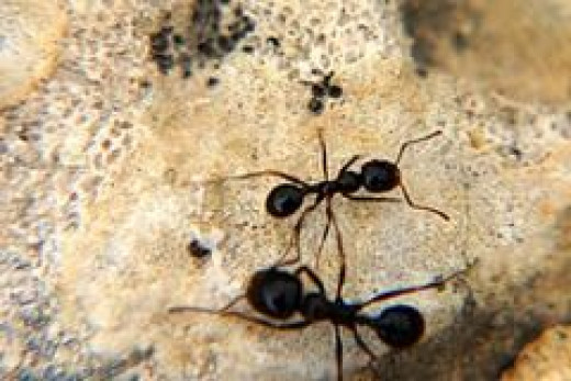 Ants in Kitchen Get Rid Of