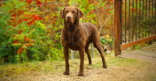 Chesapeake Bay Retriever, curly coated retriever