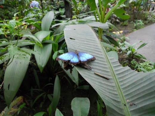 Blue Morpho butterfly when opened