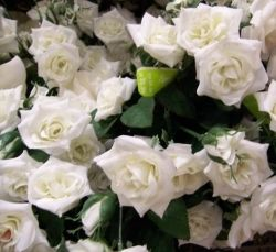 White silk rose bush.
