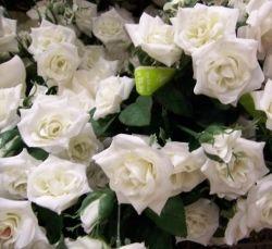 White silk rose bush.