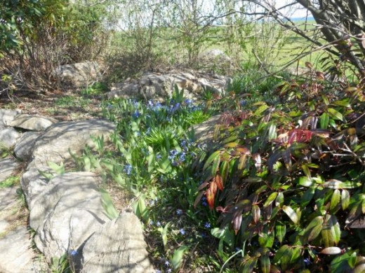Along the many paths that wind around the mansion are spring flowers --April 2012-- blue Siberian squill.