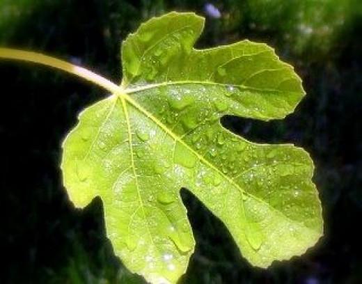 Fig-leaf-slater-museum