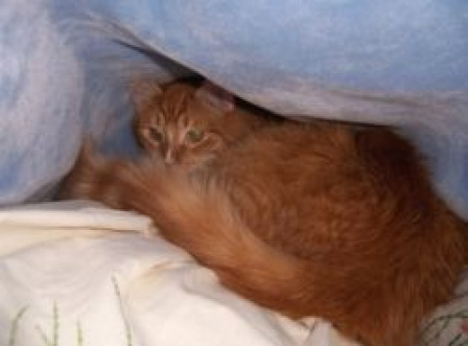 Ginger cat hiding in a blanket tent