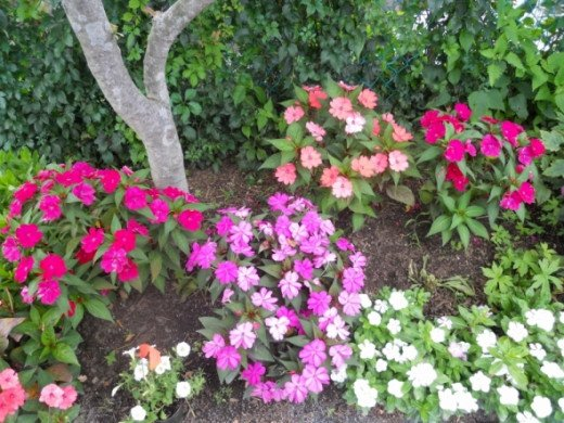A beautiful cluster of assorted impatiens