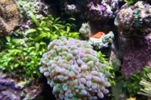 A lawnmower blenny peers over an elegance coral in my reef aquarium.