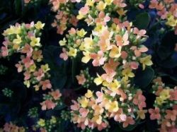 Kalanchoe blossoms on a live plant