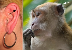 Derived by LP from Ear with earring.jpg and Image:Macaca fascicularis.jpg. 2008-07-25