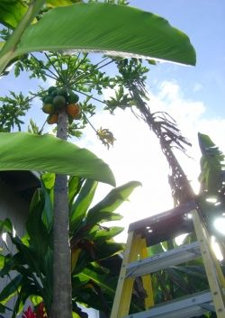 Picking Papaya in the Backyard