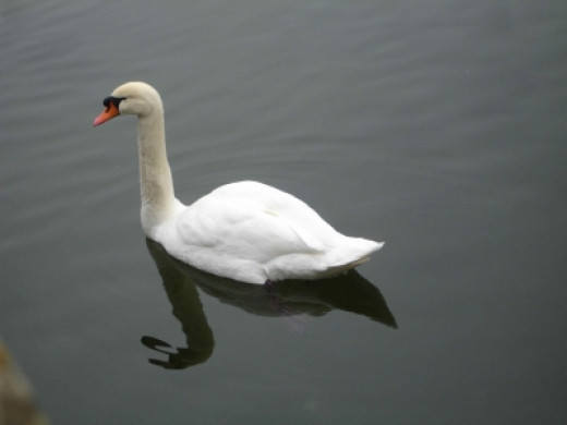 By Chateau Fontainebleau: A Lovely Swan!