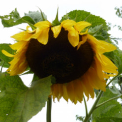 Origami Sunflower Projects