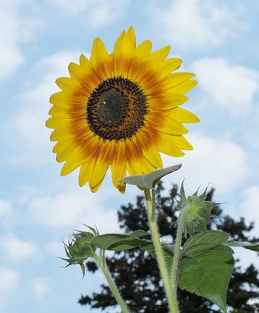 Single sunflower plant