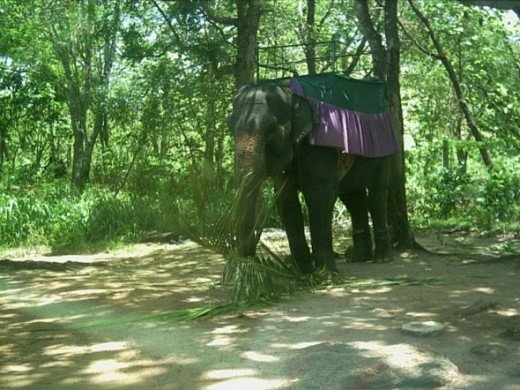 Tamed Elephant ready for Elephant back rides