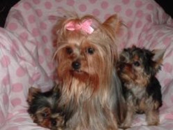 My Yorkies Kept Me Sane