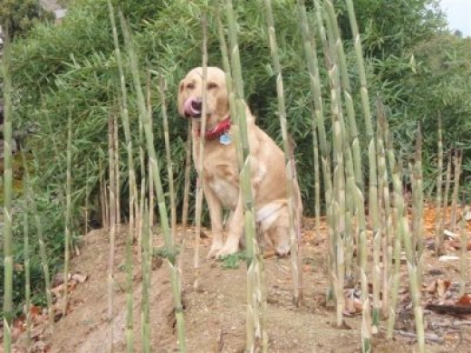 Macey loves bamboo shoots - Image courtesy Bamboo Headquarters