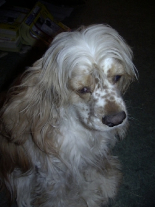 Riley-the-Cocker-Spaniel-copyright-2003-Vikk-Simmons