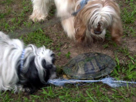 Teddy and Riley examine a strange tortoise crossing the yard.