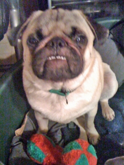 Charlie the Pug practices bull dog face-2011 copyright Vikk Simmons