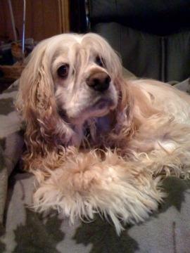 Meet Riley, the Cocker Spaniel Rockhound.