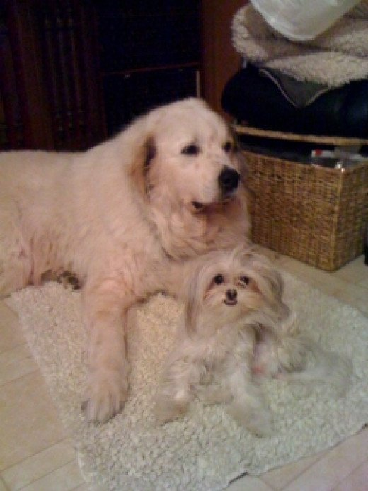 Mi-Ki and Great Pyrenees Together-2010copyright-Vikk-Simmons