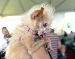 See the World's Ugliest Dog Contest Winner - YODA