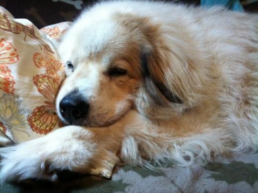 Great Pyrenees dog rescue Waco the Wonder dog, copyright 2012 Vikk Simmons