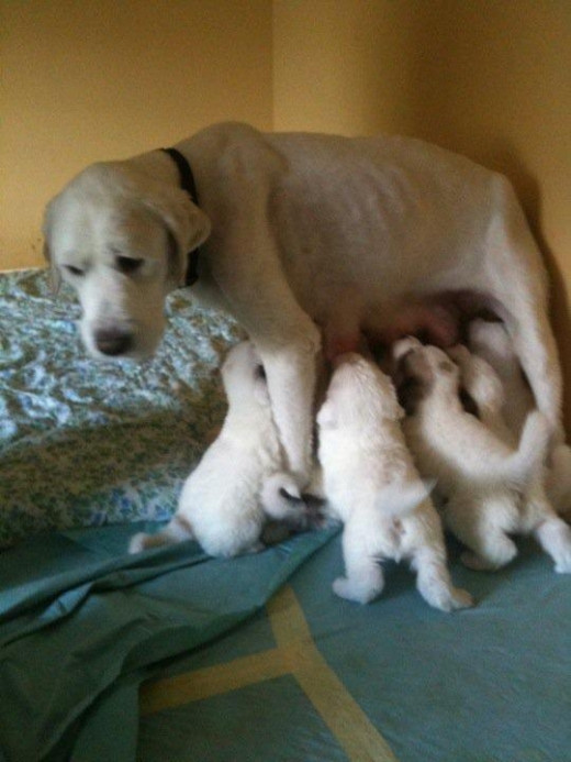 Zuria - Before fostering (TGPR Foster Pyr with puppies - photo courtesy Tim Heitman)