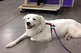 Pola - Not only is she spayed and potty-trained, she's pretty and only one year old. She's looking for that family of Pyr lovers who will give her lots of love and affection and she will do the same.