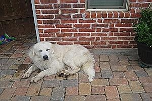 Big Boy - Very healthy 4 year old Great Pyrenees who loves being on a ranch and having his ears petted.