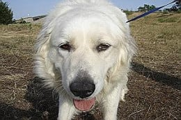 Sahara - About 2 1/2 years old, Sahara is a quiet young lady who enjoys walks, is housebroken, and seeking a family. This content girl enjoys dogs and cats, too.