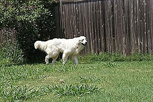 Pancho - This 4 year old Great Pyrenees is tall, handsome, and loving. Loves dogs, cats, and kids and especially lots of attention. Wants a home.