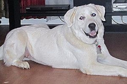 Gypsy - This is one smiling girl, a two-year old Great Pyrenees. who gets along with anyone and everybody including birds, dogs, and cats. Yes, children, too. She's looking for a home and lots of hugs.
