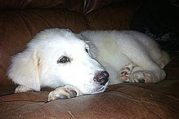 Nike - This nearly 3 month old Great Pyrenees puppy was abandoned at a shelter and is looking for a loving family. She's playful, happy, and clever.