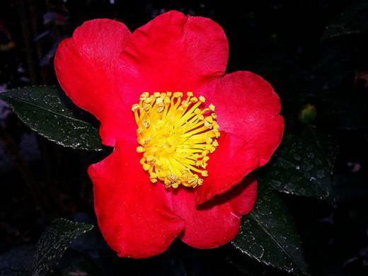 Yuletide Red Camellia