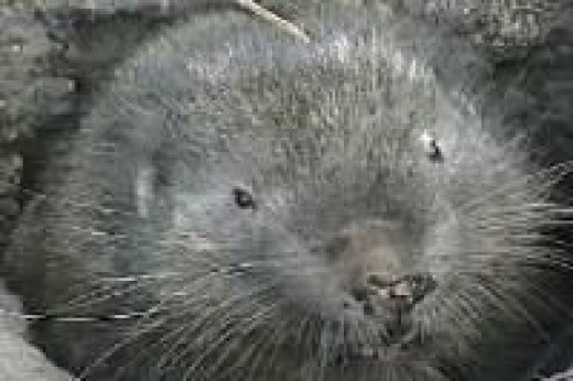 Mountain Beaver Face