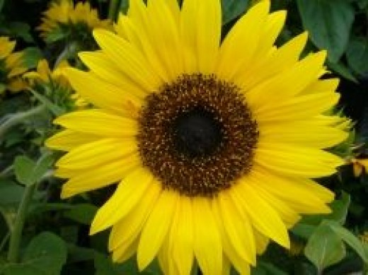 Great-Sunflower-Project