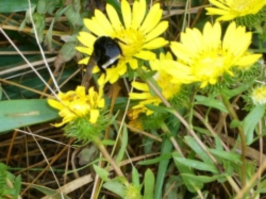 bumble-bee-on flower