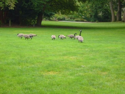A family of Canada Geese on the lawn
