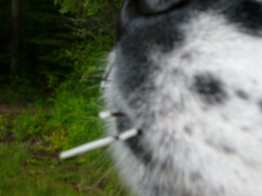 Close encounter with a porcupine during a camping trip on our rural land - ouch!