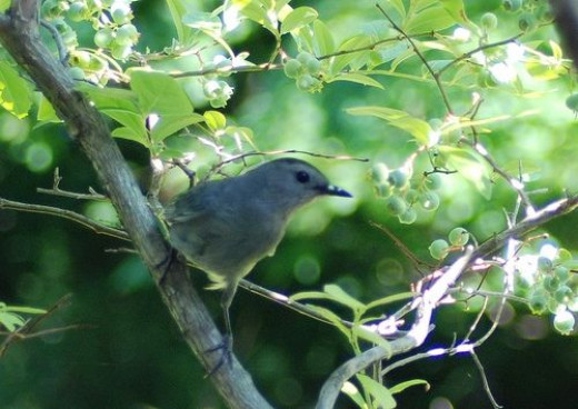 Catbird looking for a blueberry