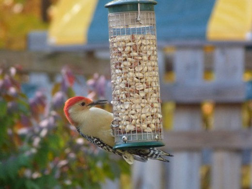 Red-bellied woodpecker at peanut feeder
