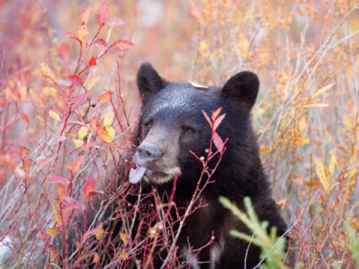 Bear Eating Blueberries