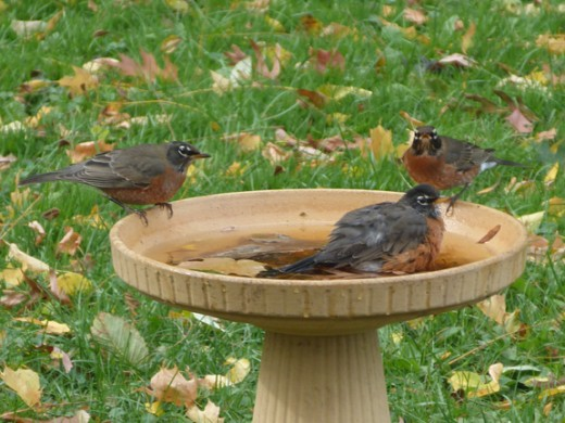 Robins in fall