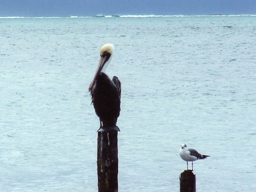 We saw many beautiful brown pelicans and other seabirds