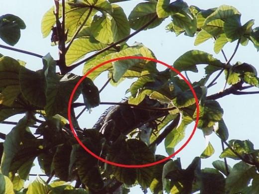 An iguana in a mango tree
