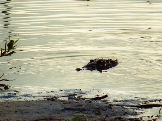 Crocodiles inhabit the lagoons